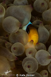 Clownfish in Bubble Anemone - Giannis D Wreck, Sha'Abu Nu... by Kate Jonker